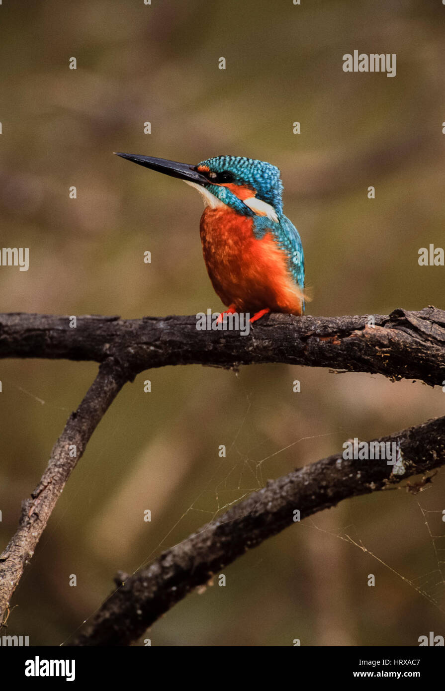 Common kingfisher, (Alcedo atthis), perched on branch, Keoladeo Ghana National Park, Bharatpur, Rajasthan, India - Stock Image
