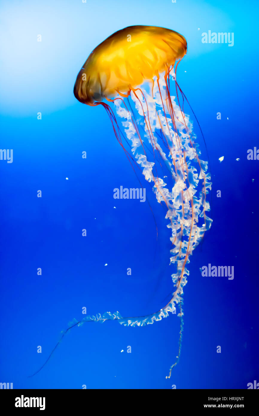 Yellow jellyfish in the sea. - Stock Image