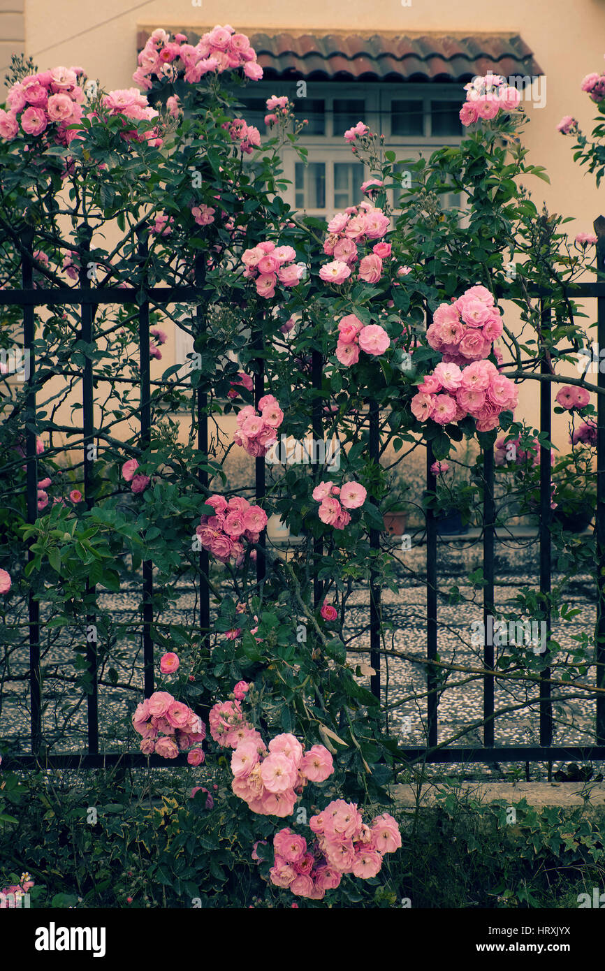 Beautiful Fence Of A Home At Dalat, Vietnam, Climbing Roses Trellis Front  Of The House, Bunch Of Pink Flower, Green Leaf From Rosebush Make Nice View