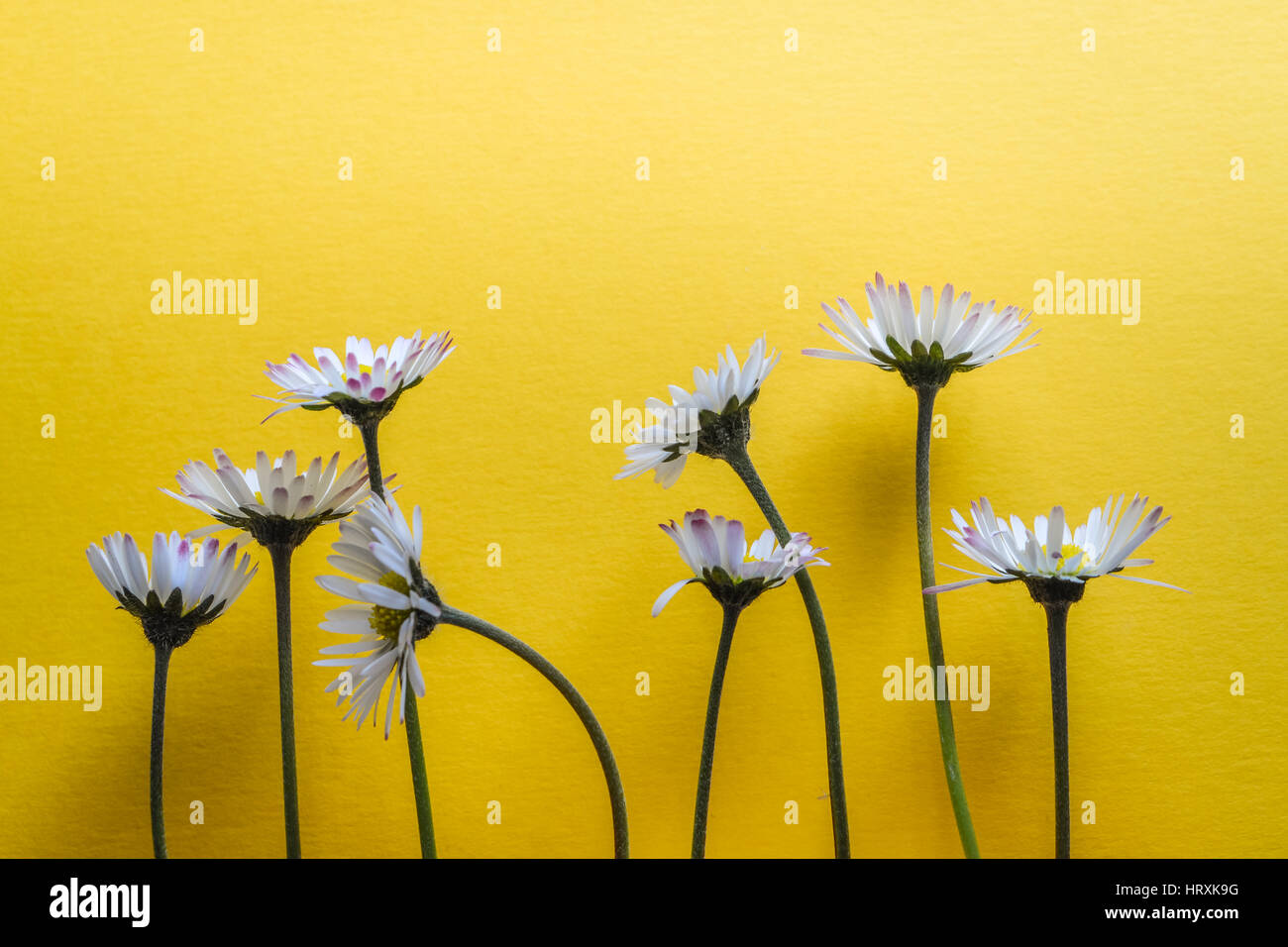 Group little daisy flowers on stock photos group little daisy group of little daisy flowers on bright yellow textured background closeup stock image izmirmasajfo