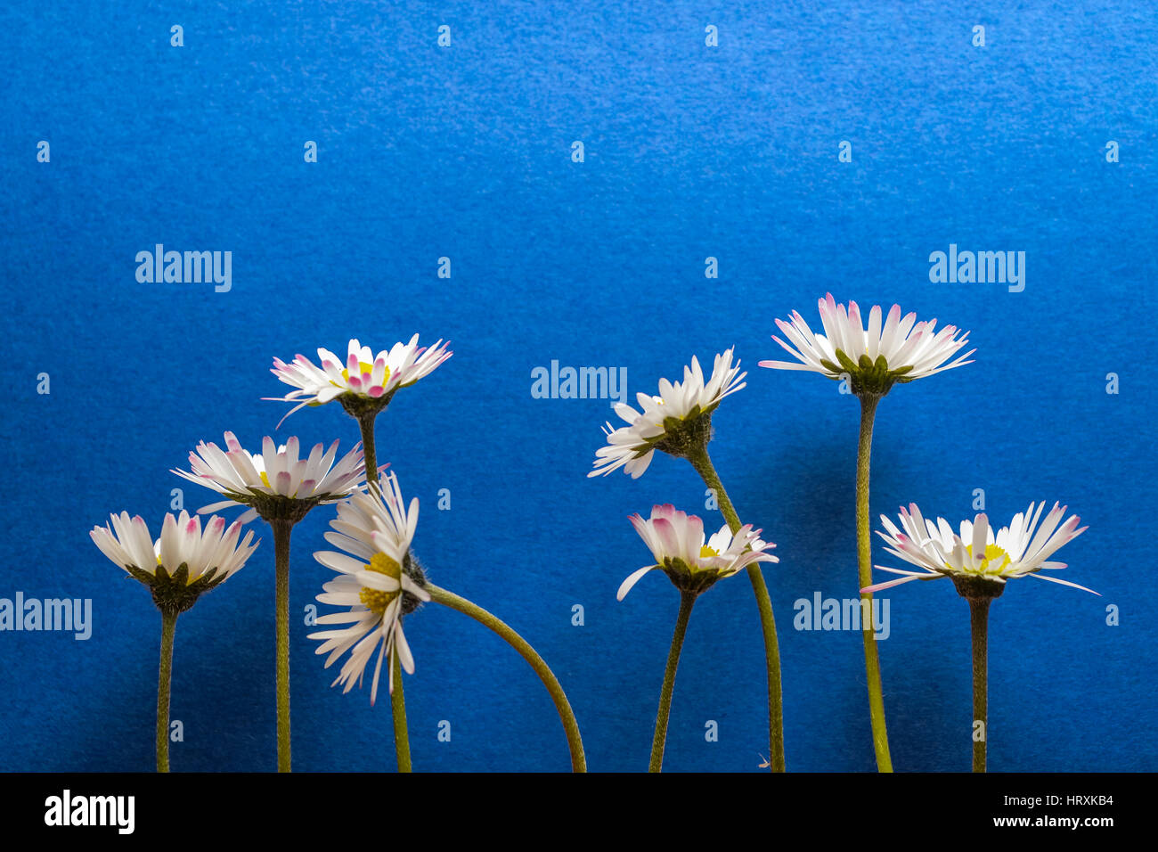 Group of little daisy flowers on dark blue textured background stock group of little daisy flowers on dark blue textured background closeup izmirmasajfo