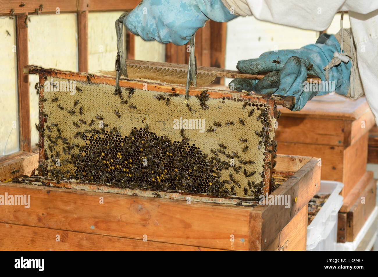 Frames of a bee hive. Beekeeper harvesting honey Stock Photo ...