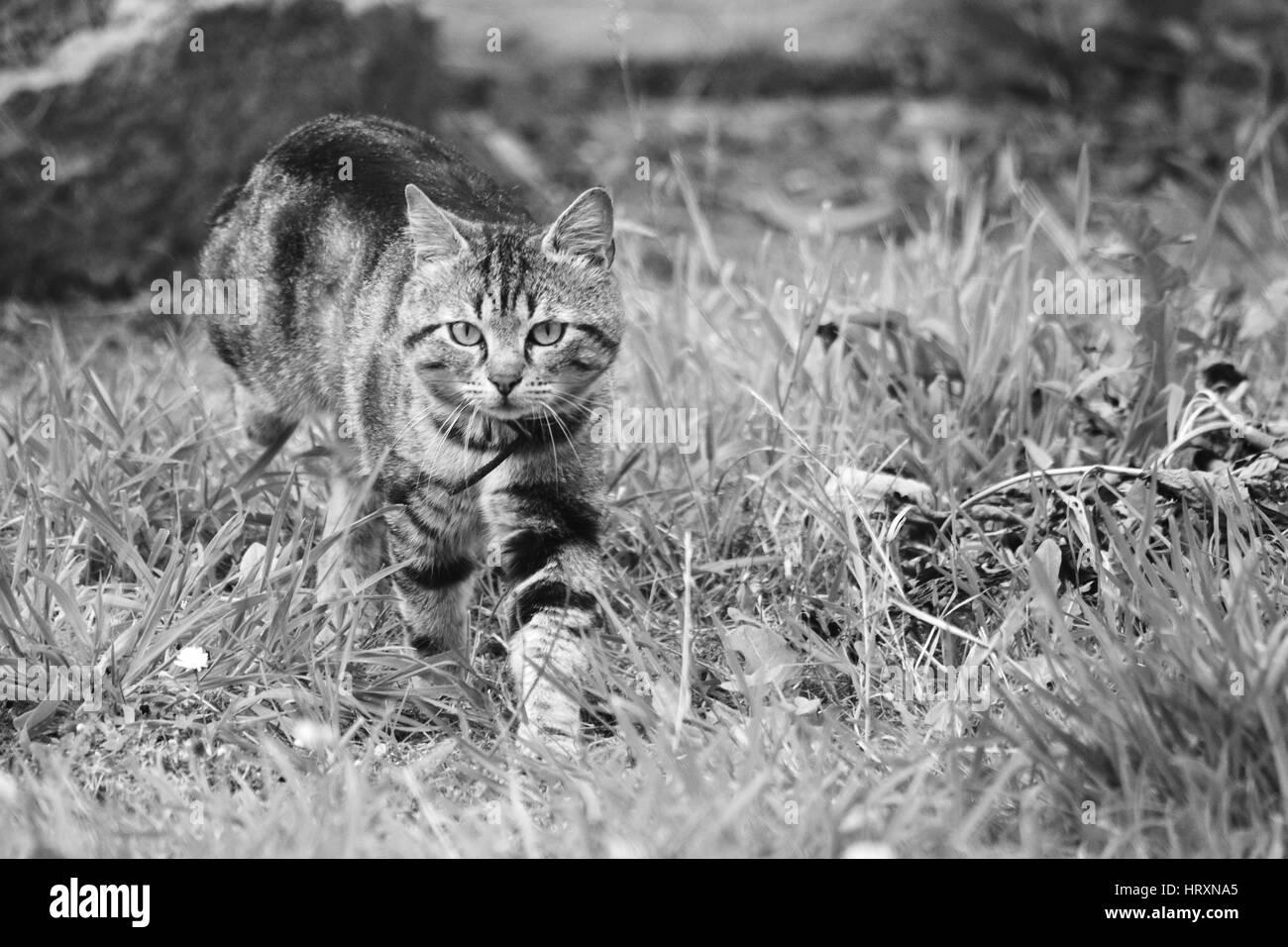 Chat à l'affût . - Stock Image