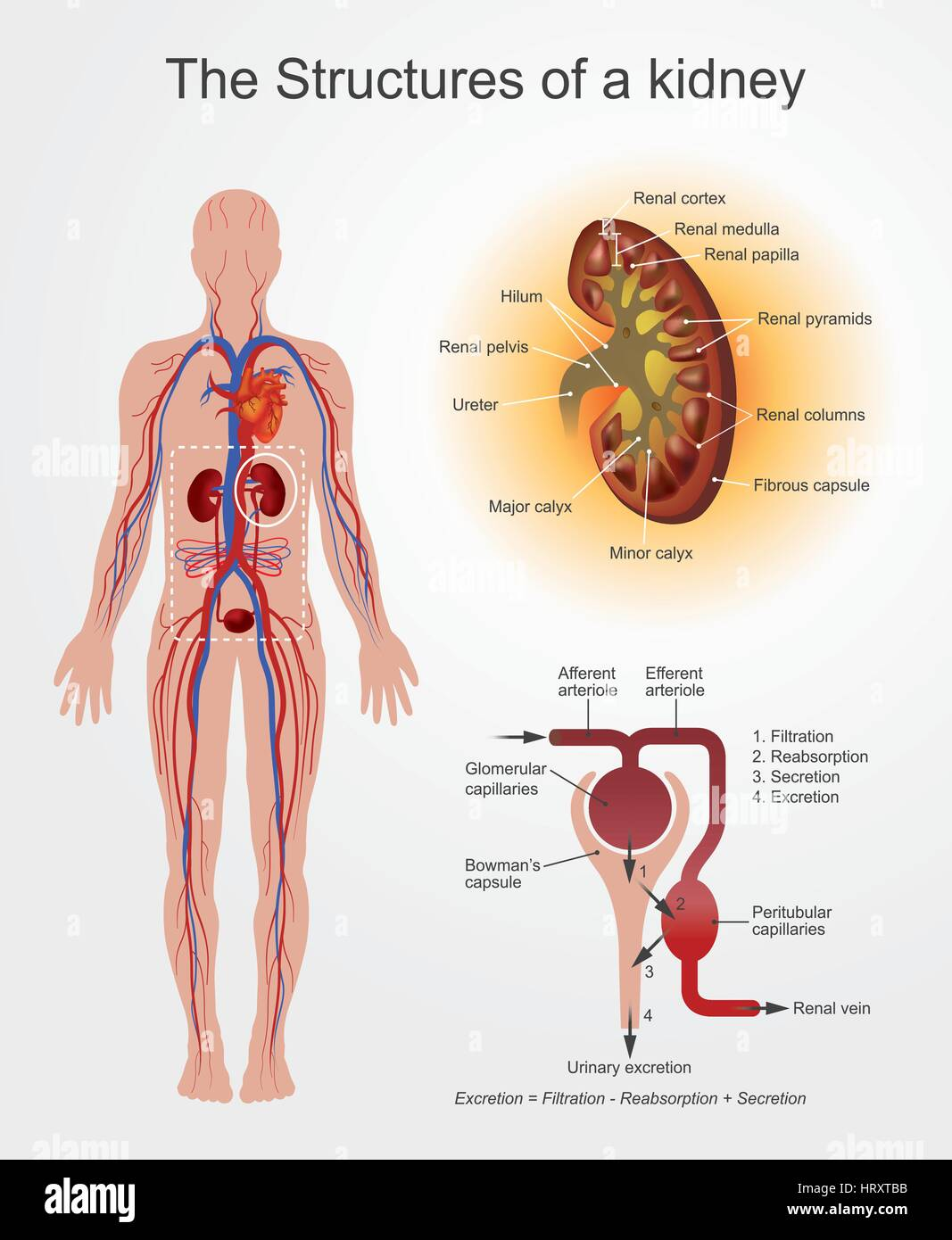 The Kidneys Are Bean Shaped Organs That Serve Several Essential