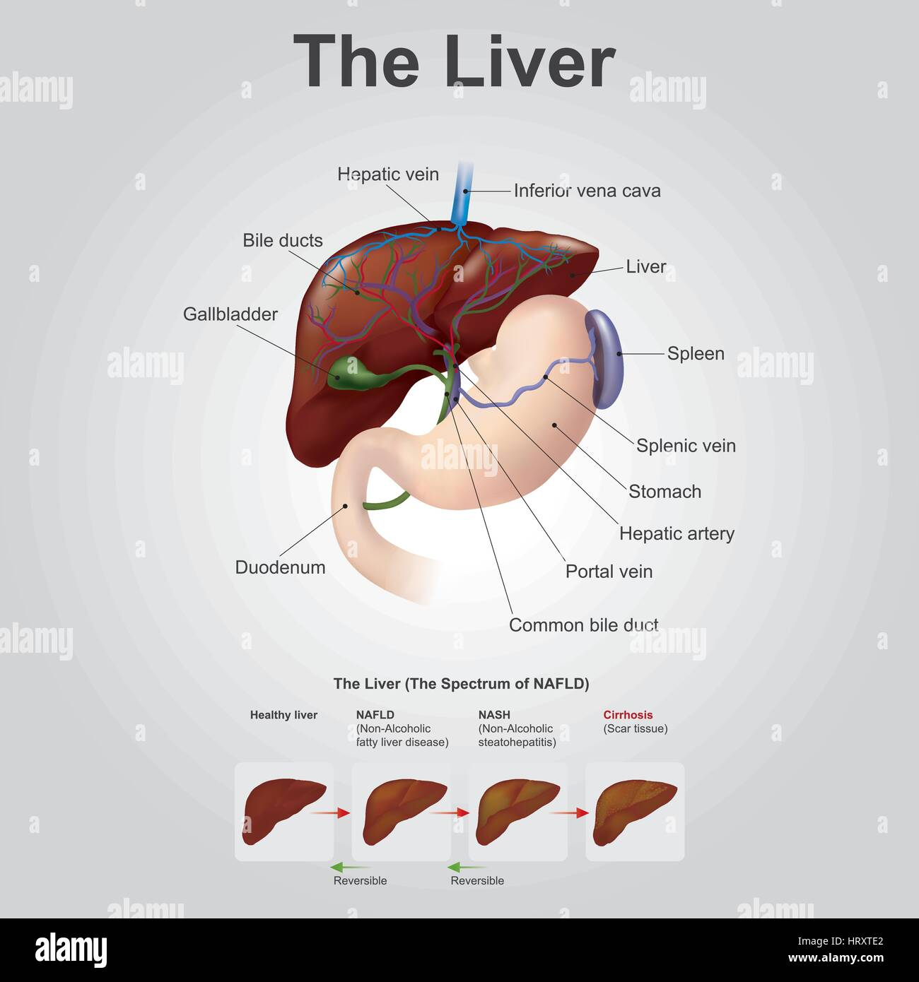 The liver is the only human internal organ capable of natural Stock ...