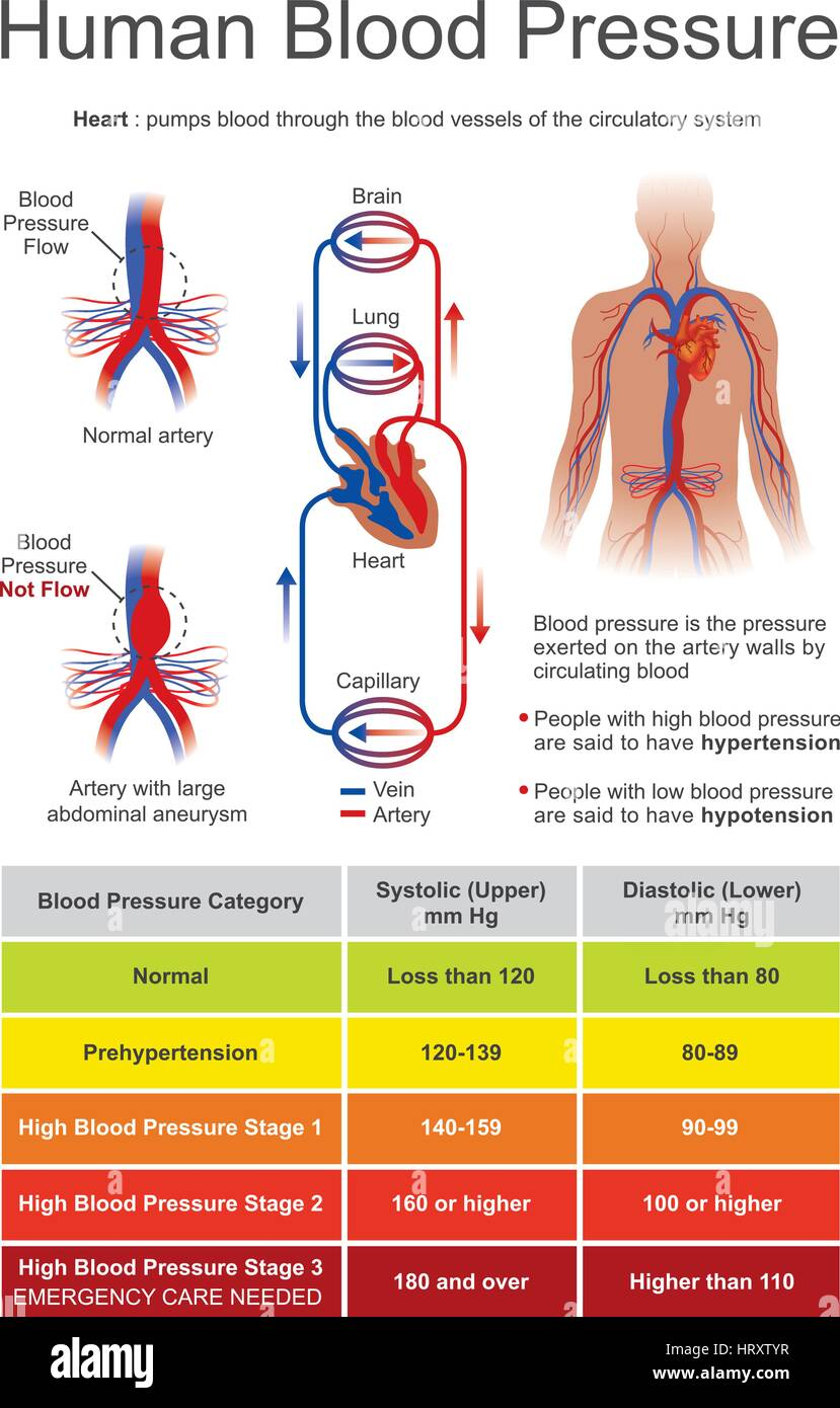 Blood pressure (BP) is the pressure of circulating blood on the walls of blood vessels. When used without further - Stock Image