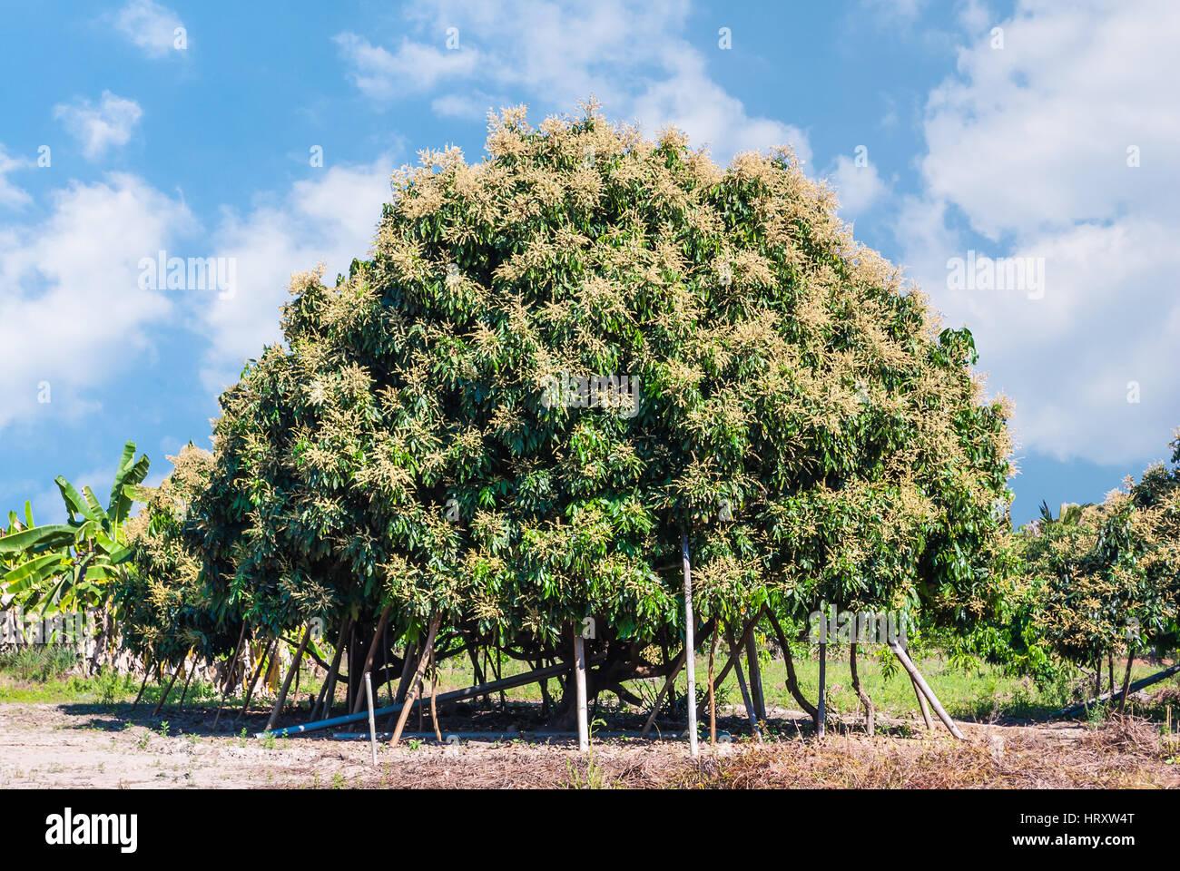 Longan Tree Stock Photos & Longan Tree Stock Images - Alamy