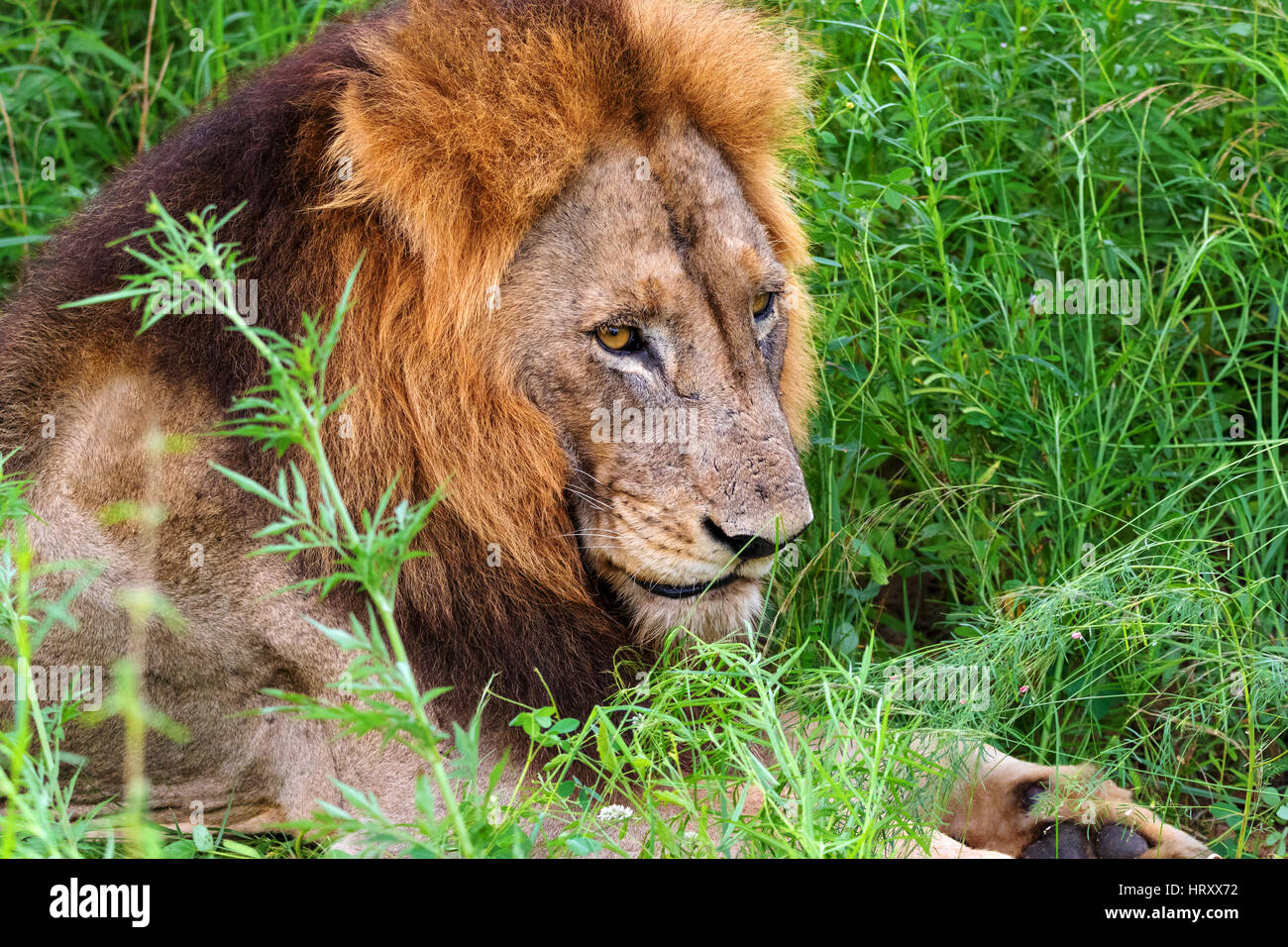 Lion male portrait - Transvaal lion (Panthera leo krugeri) also known as Southheast African lion, Kruger National - Stock Image
