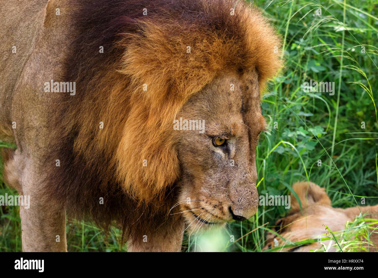 Portrait of male lion with female partner in the dense grass-Kruger National Park-South Africa - Stock Image