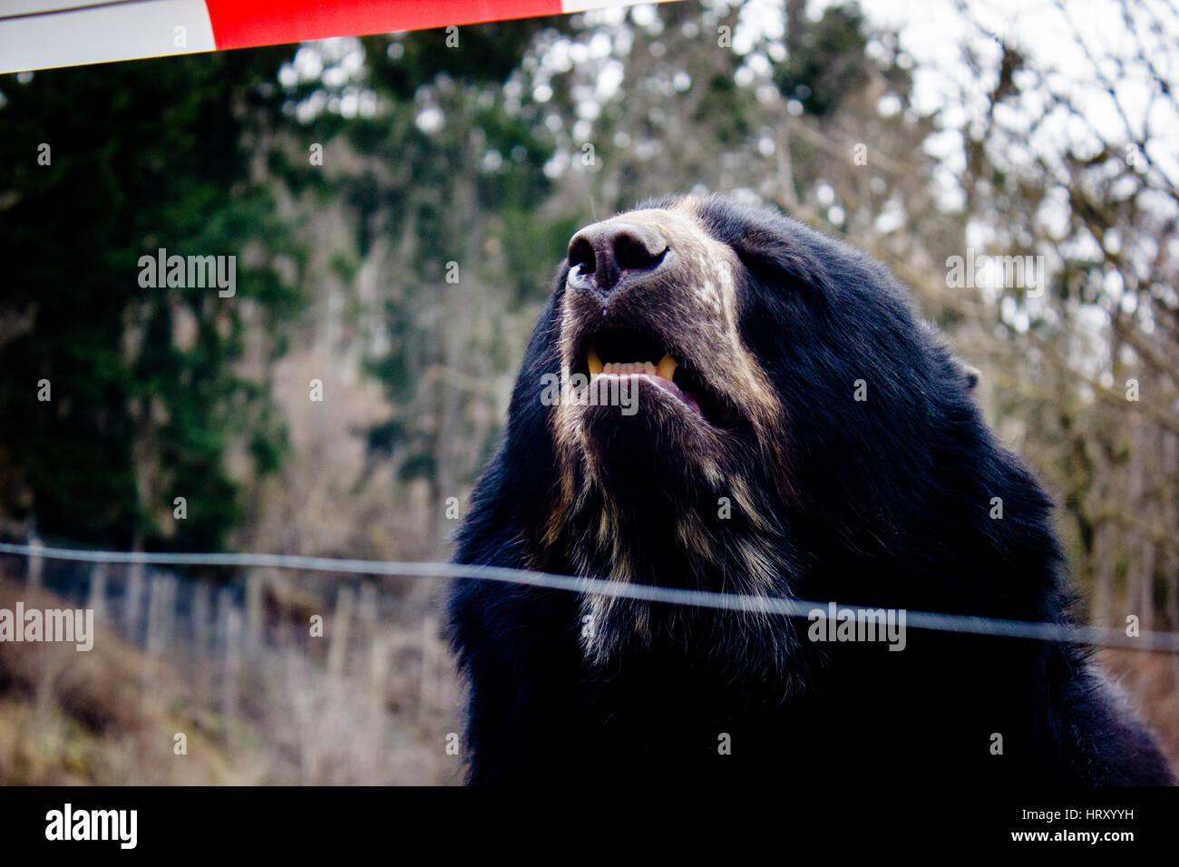 Kragenbär im Zoo (Tierpark Herberstein) - Stock Image