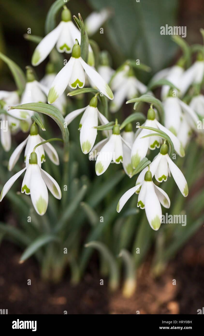 Galanthus Nivalis Viridapice, Snowdrops UK - Stock Image