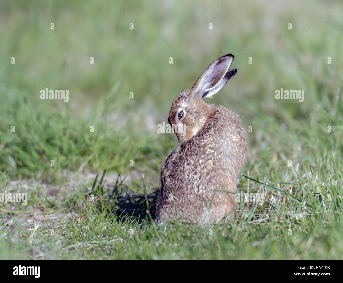 Brown Hare(Lepus europaeus) grooming itself on North Norfolk farmland. - Stock Image
