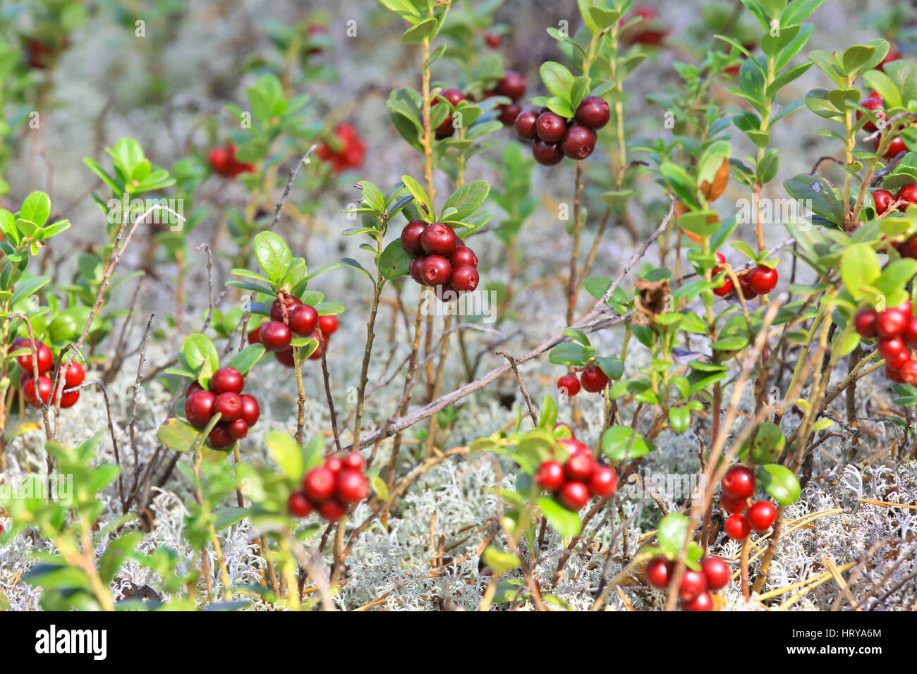 Glade cranberries in the Siberian taiga - Stock Image