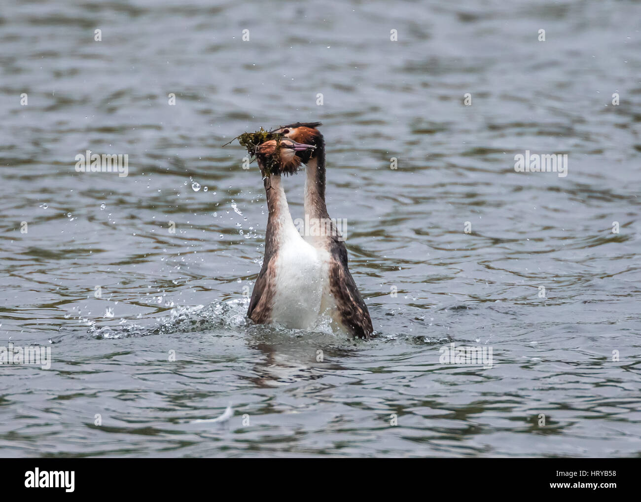 """Great Crested Grebes (podiceps cristatus) performing """"weed dance"""" courtship display in Spring Stock Photo"""