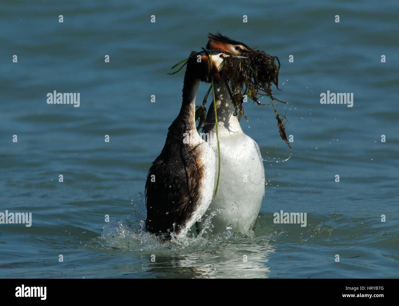"Great Crested Grebes (podiceps cristatus) performing ""weed dance"" courtship display in Spring Stock Photo"