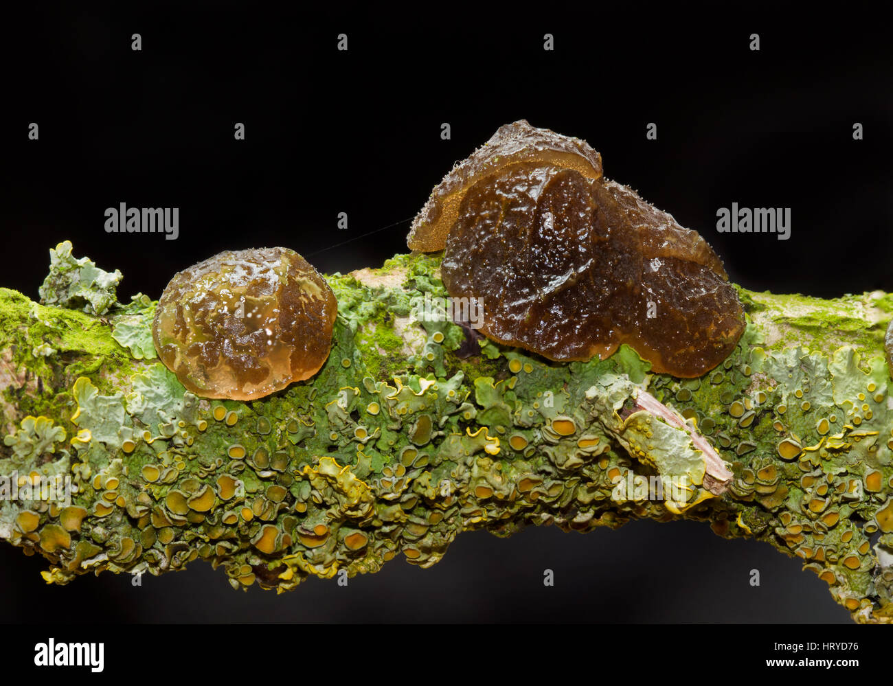 Rubbery-gelatinous, button shaped fruit bodies of Witches' butter and lichens on the rotting branch of an Oak - Stock Image