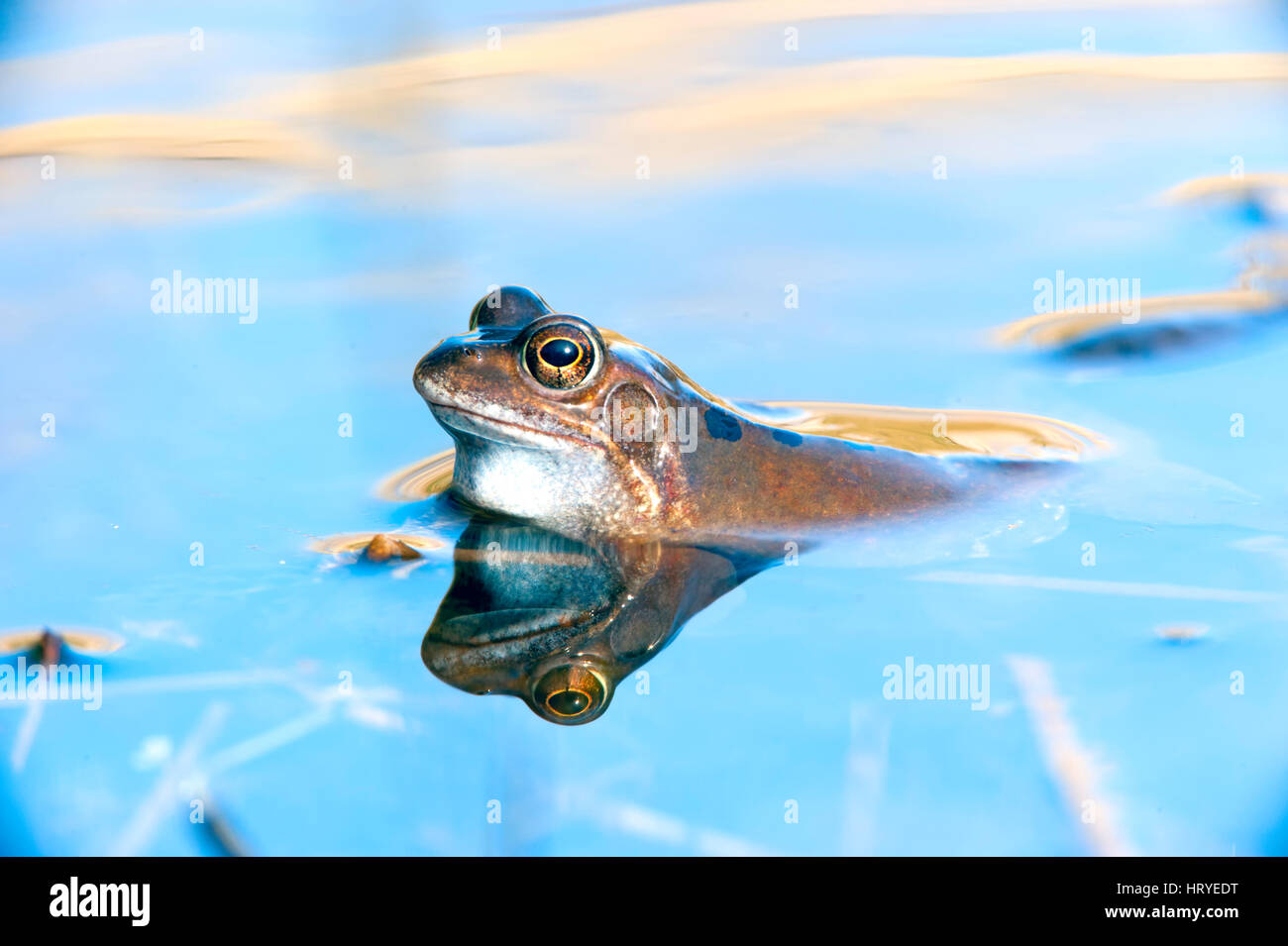 Common Frog(Rana temporaria) on the hunt for a mate in a pool at Little Snoring Airfield, Norfok, United Kingdom - Stock Image