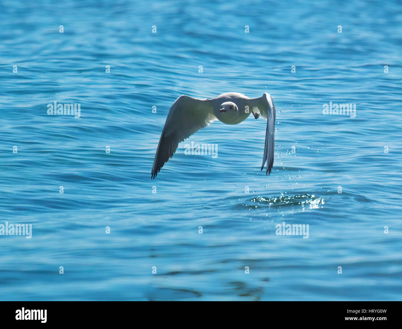 The seagull flies swiftly over the surface of the ocean - Stock Image