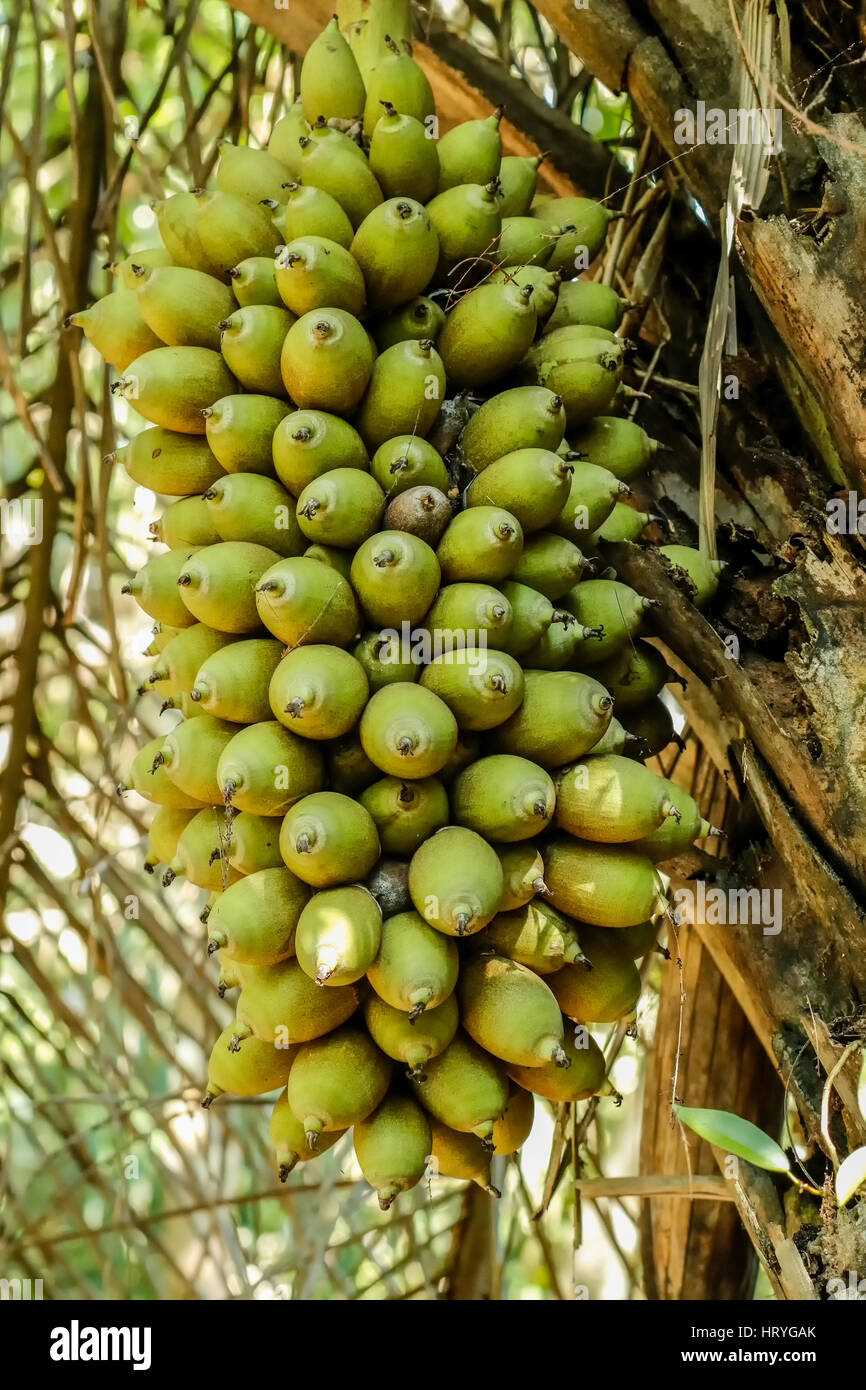 Attalea Speciosa High Resolution Stock Photography And Images Alamy Its bunches of oblong or conical fruit are often 3ft long. https www alamy com stock photo attalea speciosa babassu babassu palm babau cusi is a palm native 135215211 html