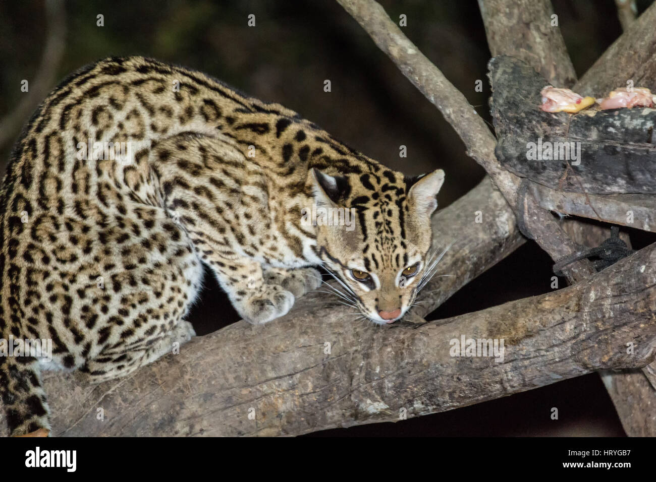 Ocelot at night time with a spotlight on it, as it comes looking for some meat left for it, in the Pantanal region - Stock Image