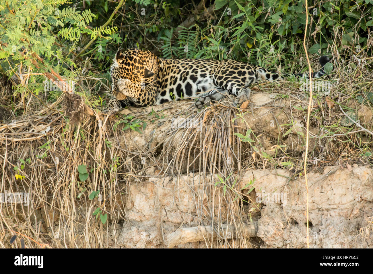 Jaguar looking shy as he covers his face while cleaning his paws in the heat of mid-day on a riverbank in the Pantanal - Stock Image