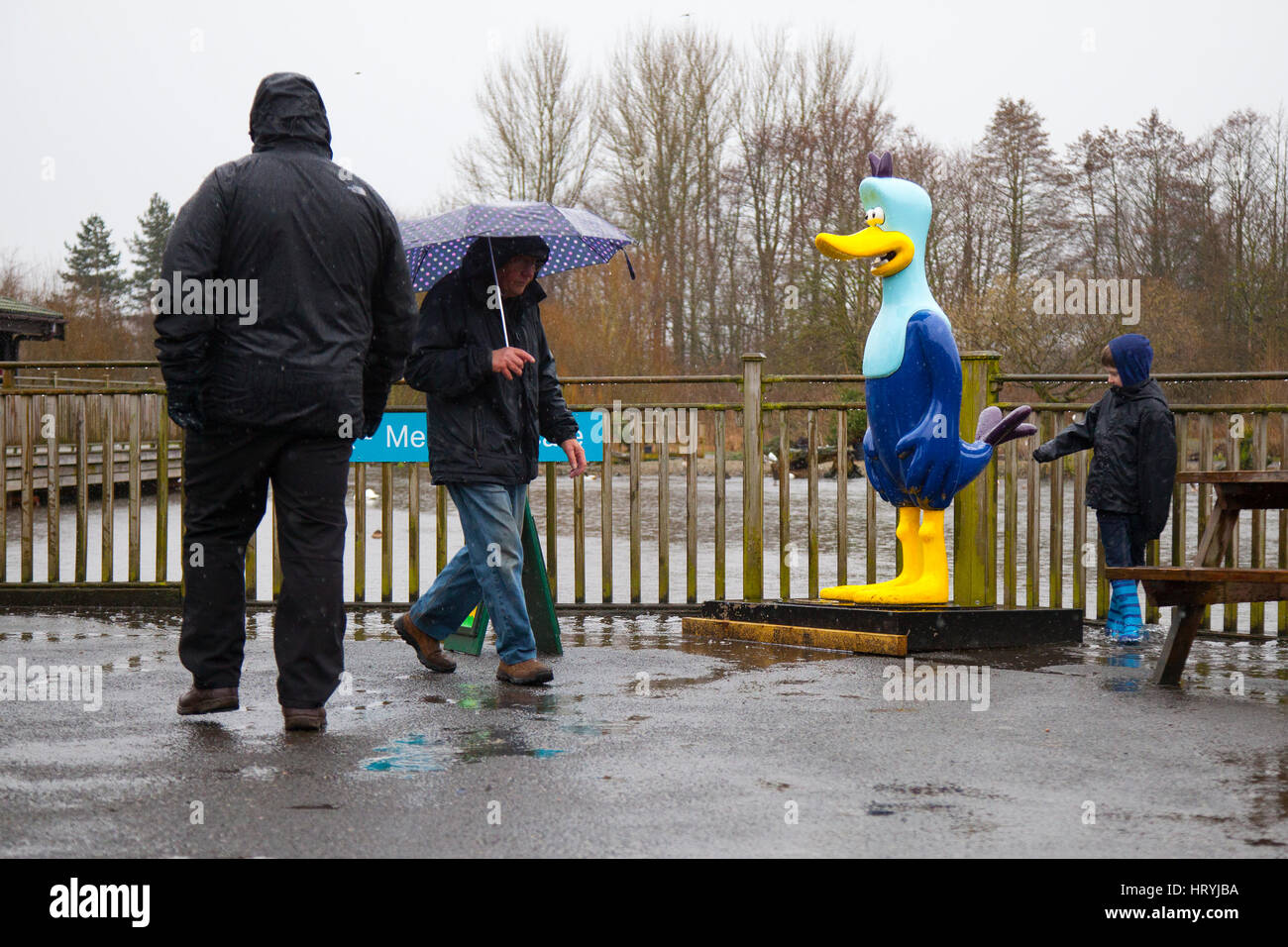 Burscough, Lancashire, UK. UK Weather. 5th March, 2017. Lovely weather for Ducks but not so much for people. Heavy - Stock Image