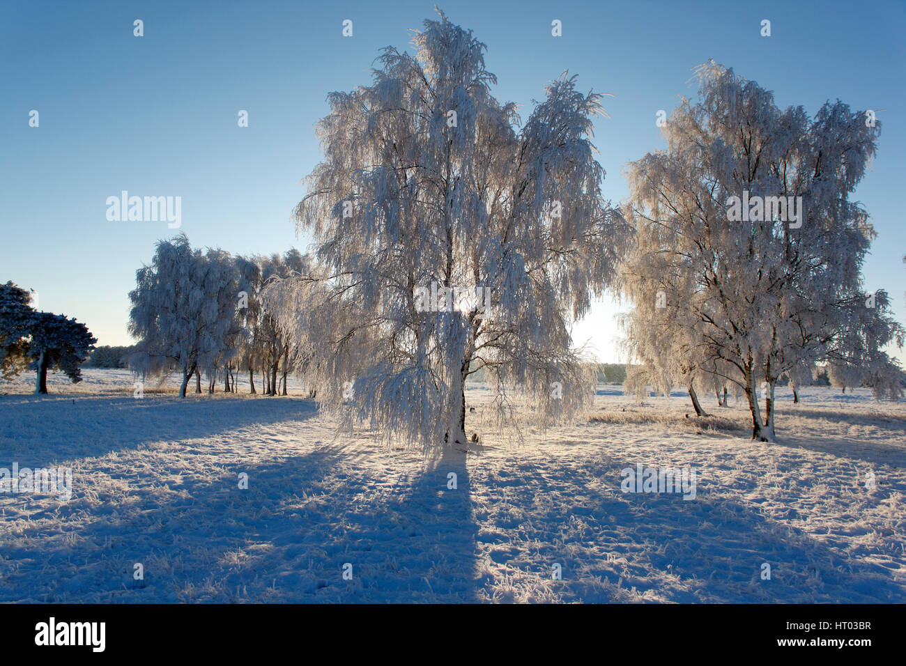 Backlit Silver Birch Trees covered in white hoar frost and snow, Thetford Forest Suffolk - Stock Image
