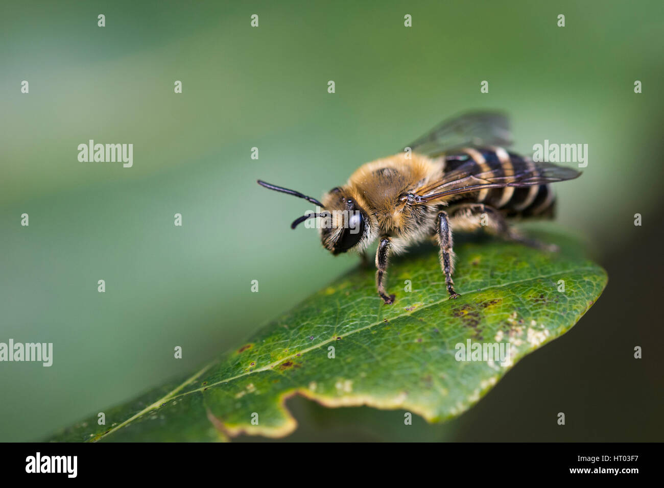 Ivy Mining Bee on a leaf - Cornwall, UK - Stock Image