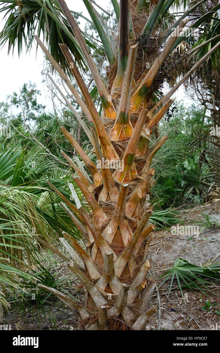 Sabal palm (Sabal palmetto) showing its boots (dead frond stems) - Stock Image