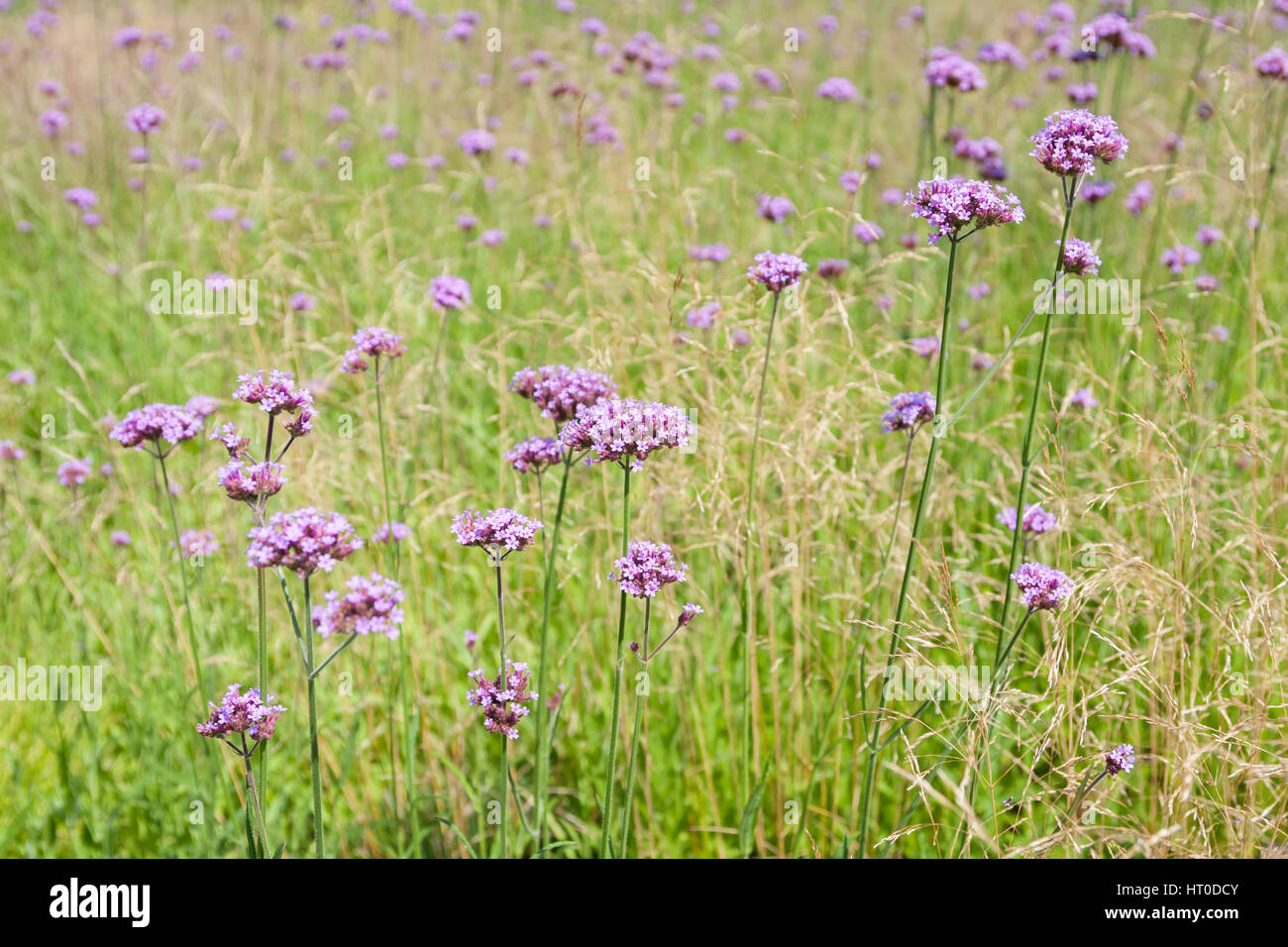 Tall Pink Verbena Growing In A Field Of Ornamental Grass Stock Photo