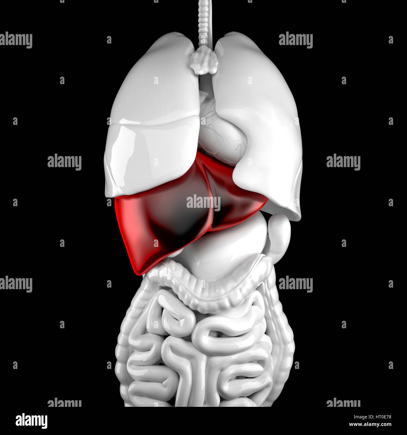 3d Anatomical Illustration Contains Clipping Path