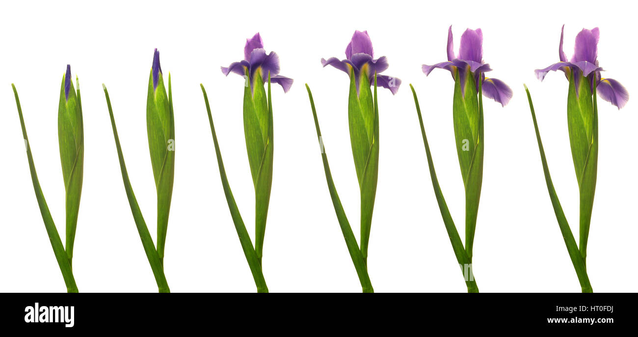 Stages of growing cut out stock images pictures alamy time lapse series of a purple iris flower blooming stock image izmirmasajfo