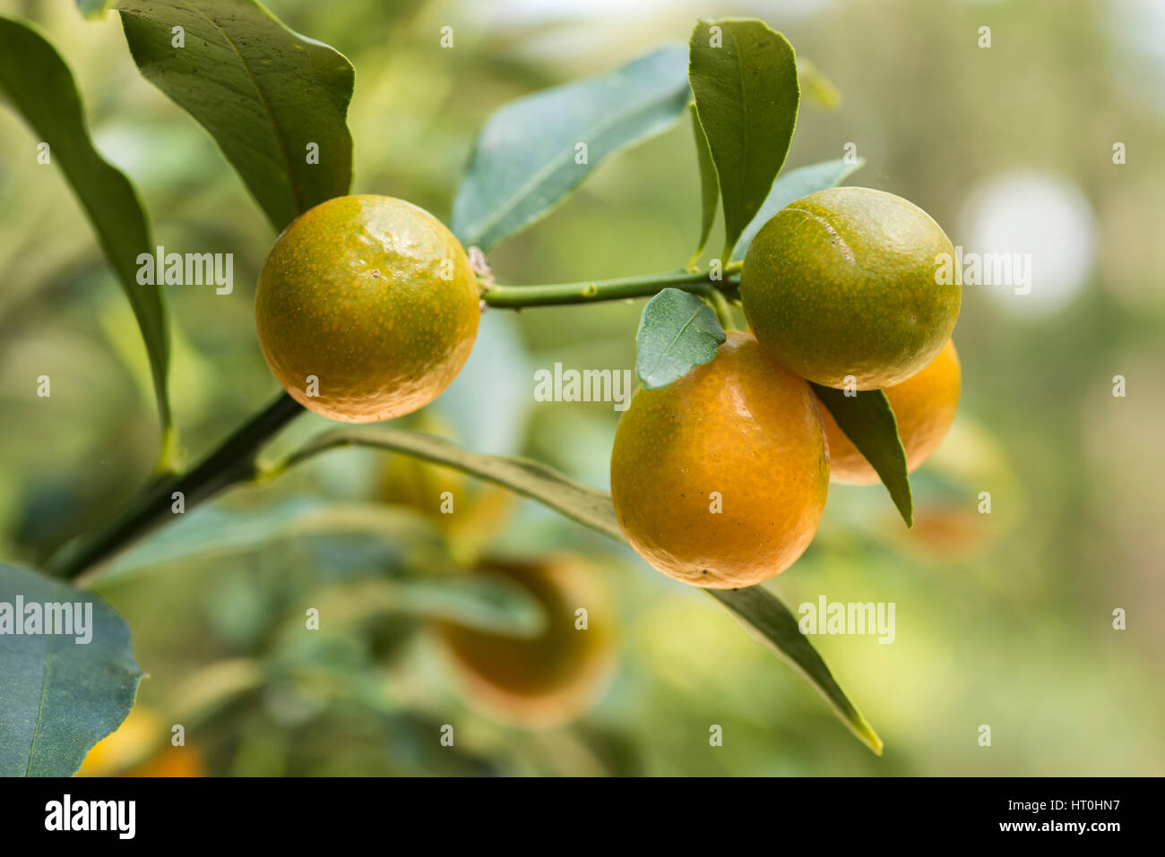 Kumquat fruit on tree Stock Photo