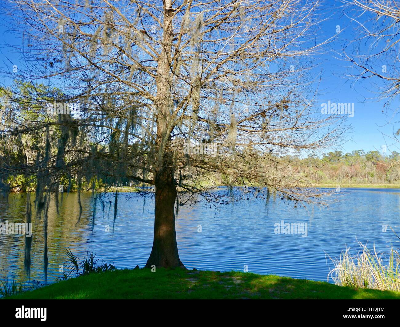 Bare cypress tree on the edge of Lake Alice, University of Florida campus, Gainesville, Florida, USA. - Stock Image
