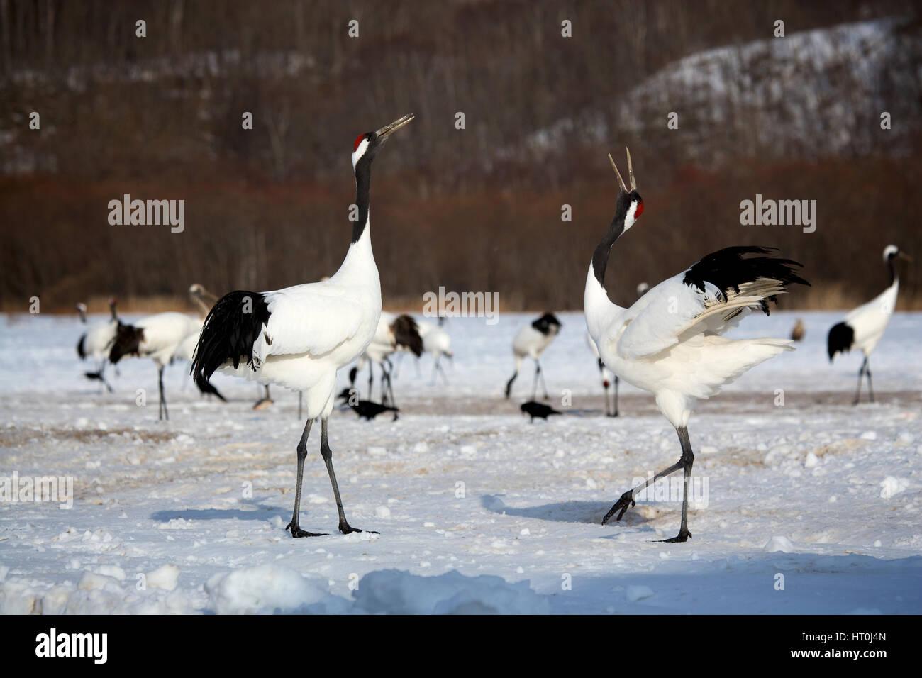 Japanese crane (Grus japonensis), courtship behavior, Akan Reserve, Hokkaido, Japan - Stock Image