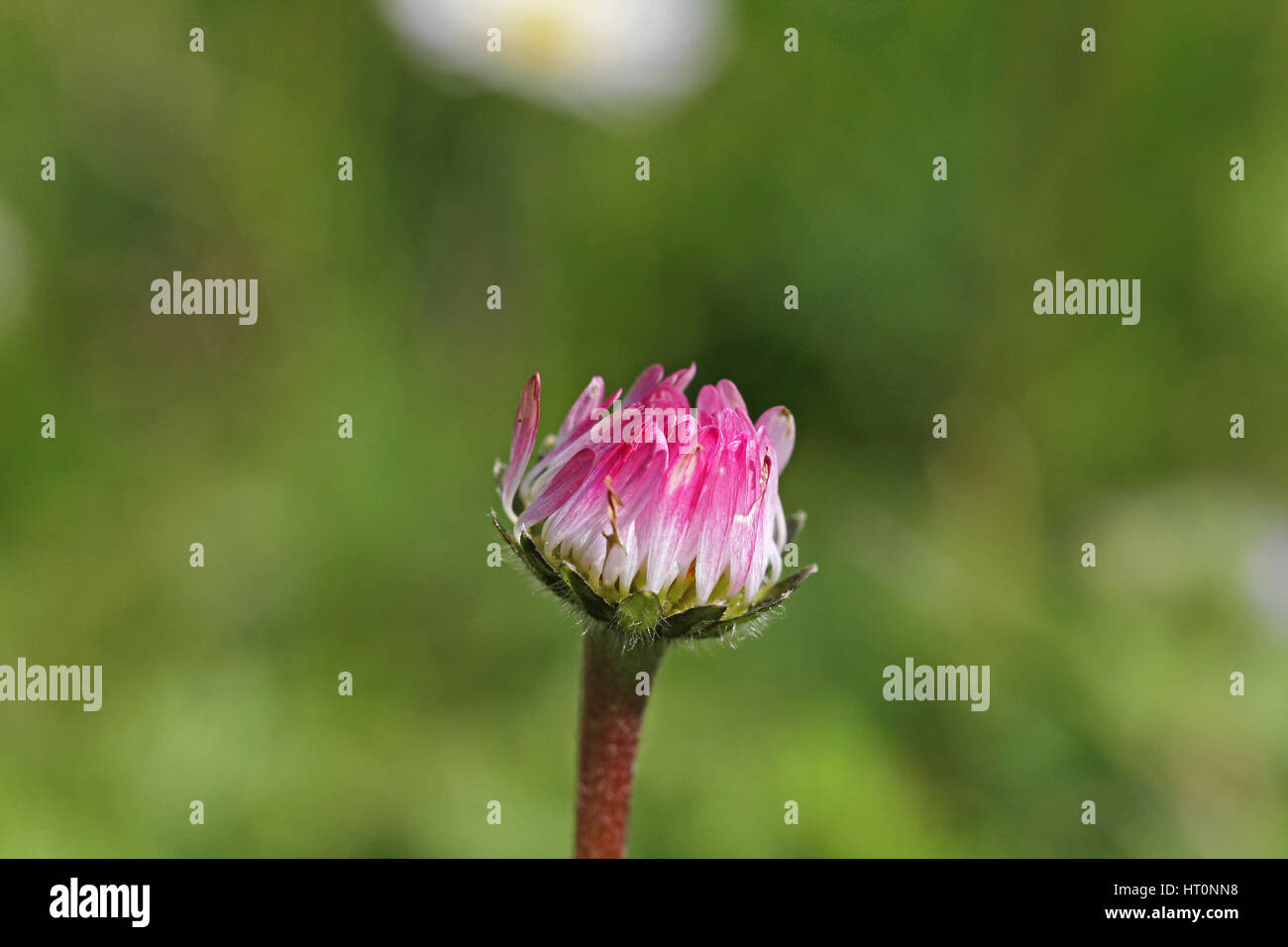 common European lawn daisy bud very close up Latin name bellis perennis compositae hardy perennial at eye level - Stock Image
