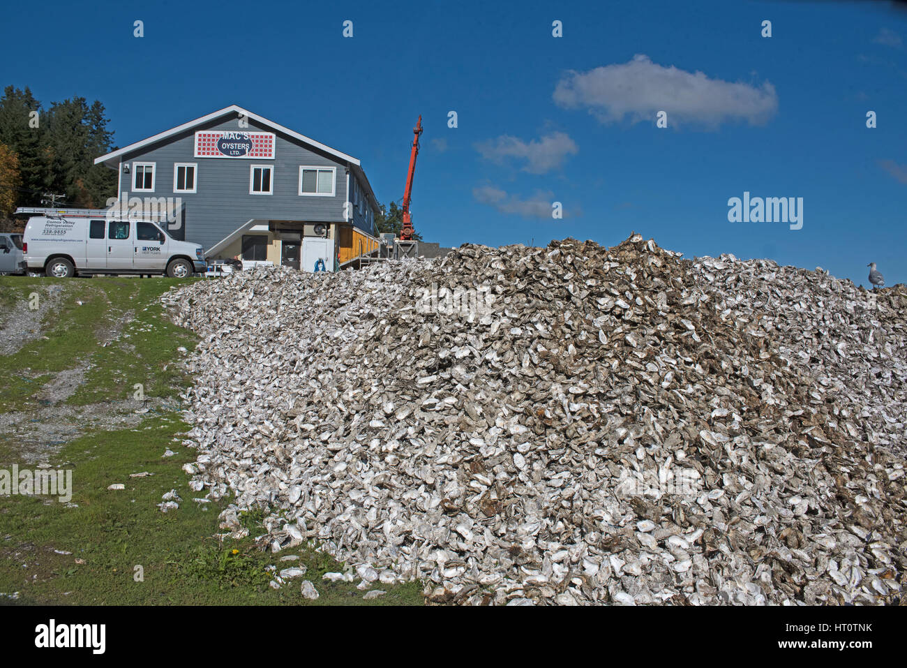Canadian oysters from the Fanny Bay area of Vancouver Island in British Columbia Canada - Stock Image
