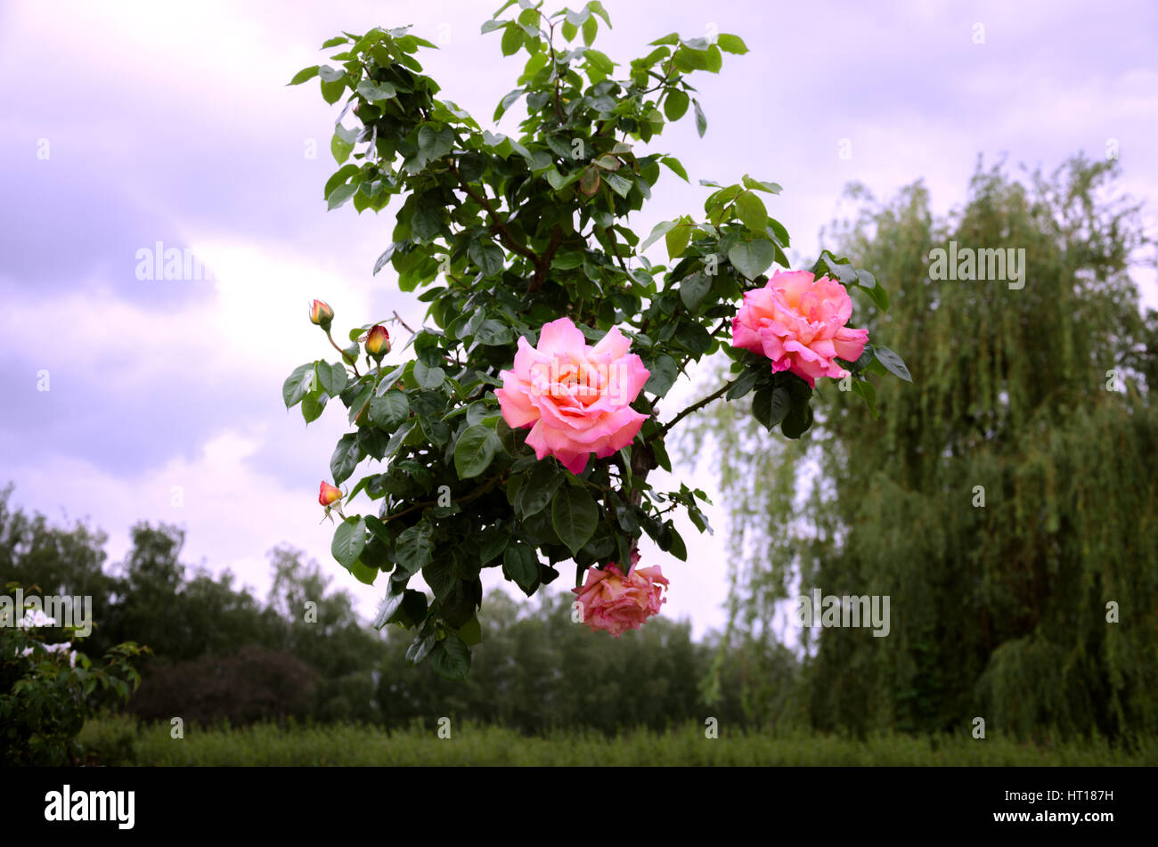 Beautiful flowering shrub roses against the sky and weeping willow stock image