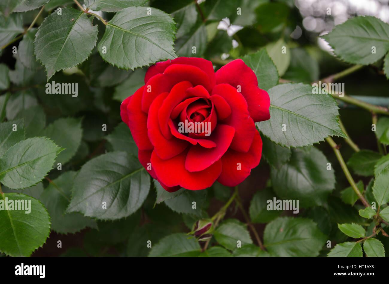 winding garden rose with red velvet flower and green leaves Stock Photo