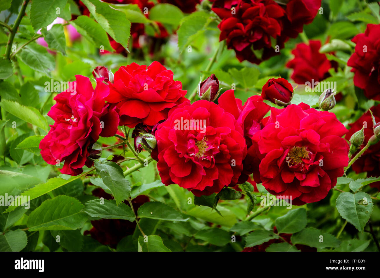 Beautiful rose bush unusual spots with red flowers and green leaves beautiful rose bush unusual spots with red flowers and green leaves izmirmasajfo