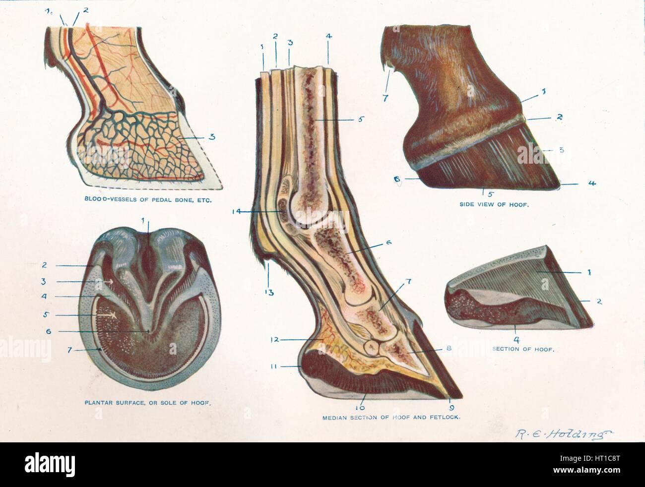 Horse Hoof Print Stock Photos & Horse Hoof Print Stock Images - Alamy