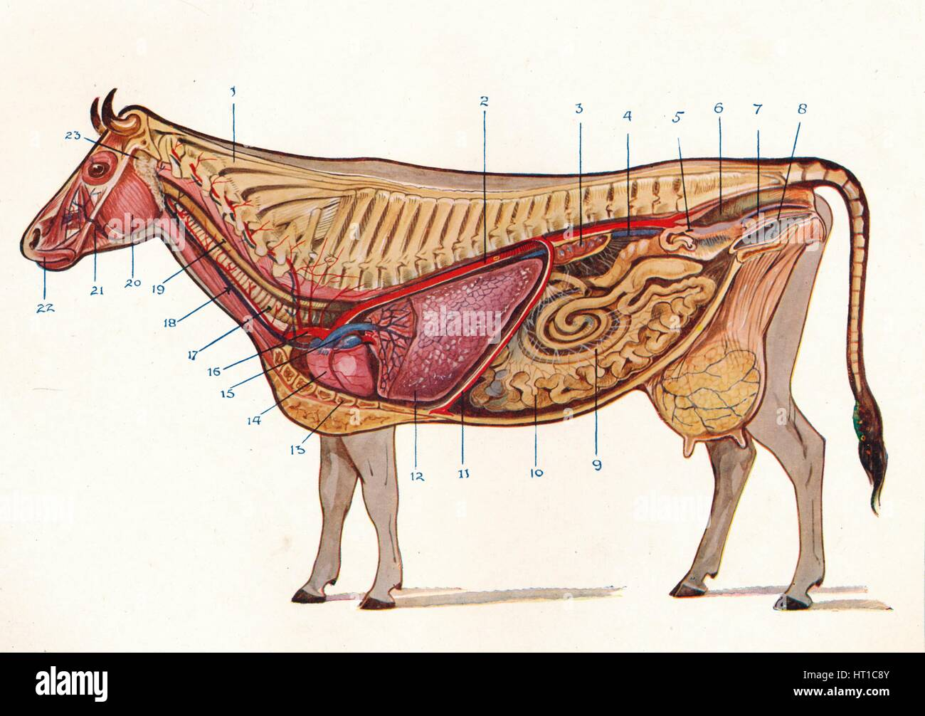 Median section of a cow, showing organs of circulation and respiration, etc, c1905 (c1910). Artist: Unknown. - Stock Image