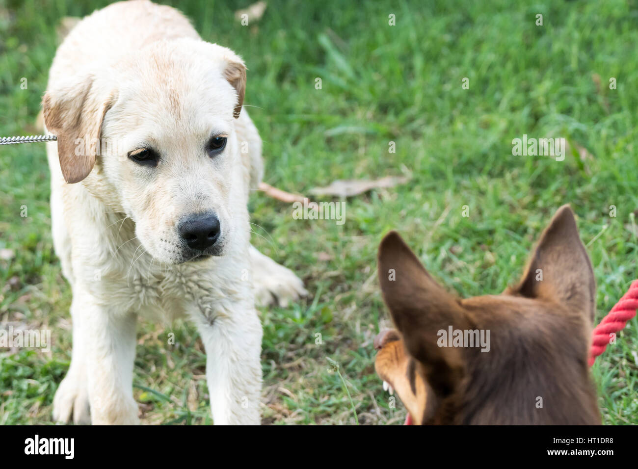 A Kelpie dog growls and bares his teeth at a Labrador Retriever puppy, who looks scared. - Stock Image
