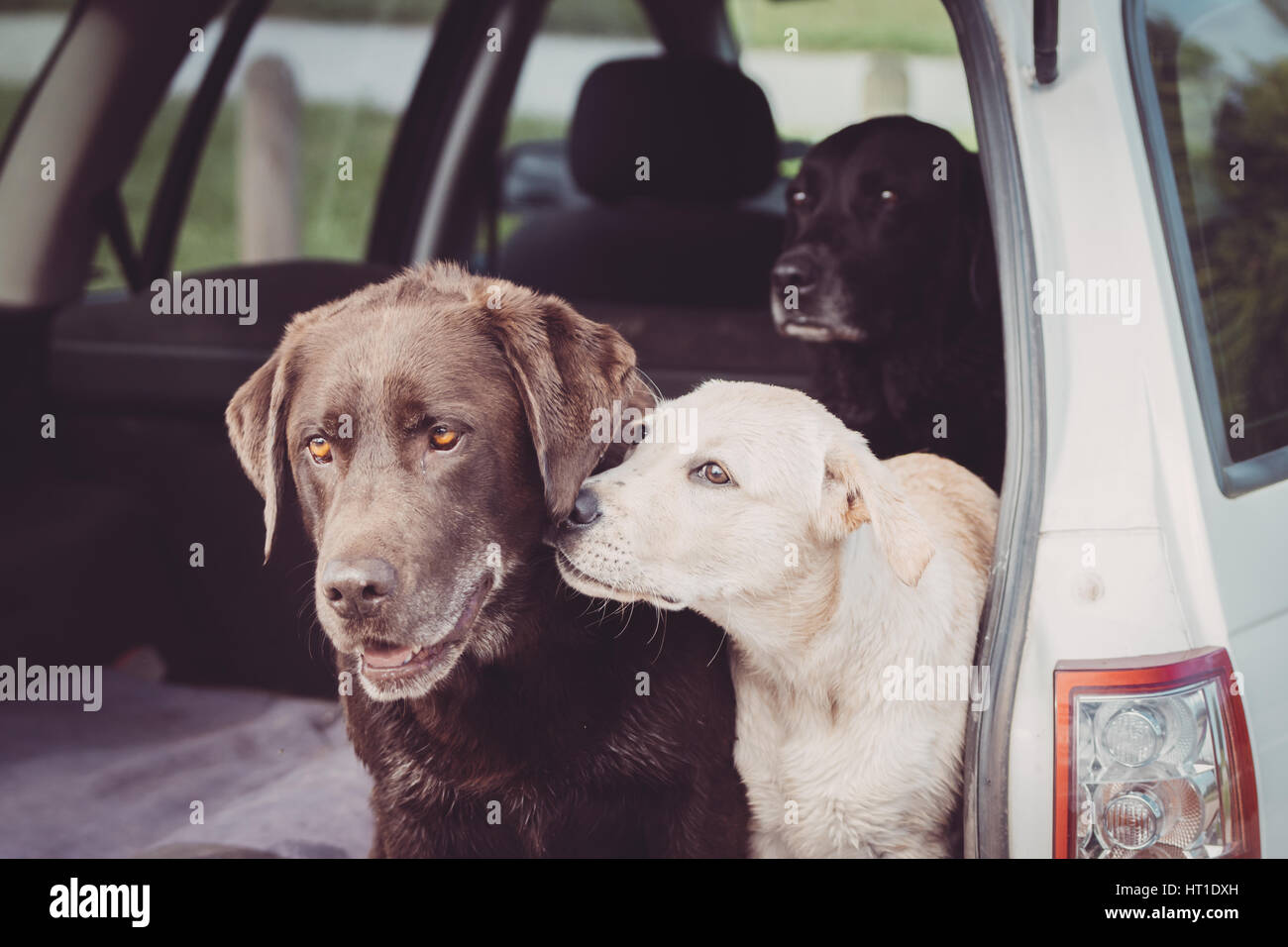 Three Labrador Retrievers sit in the back of a car while the white puppy shows affection towards one of the adult - Stock Image