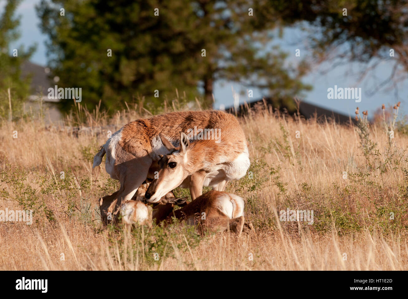 Pronghorn doe nursing fawns in a subdivision near Billings Montana - Stock Image