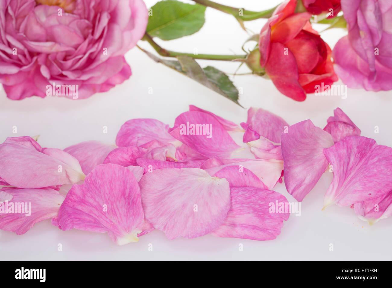 Rose, Rosen-Blüten, Rosen-Blütenblätter, Blütenblätter, Blütenblatt, Garten-Rose, - Stock Image