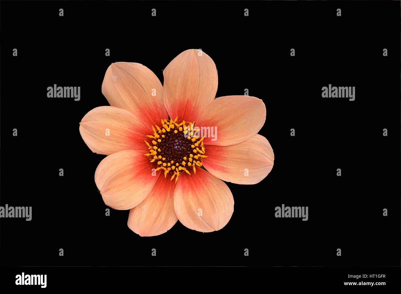 Fleur sur fond noir . - Stock Image