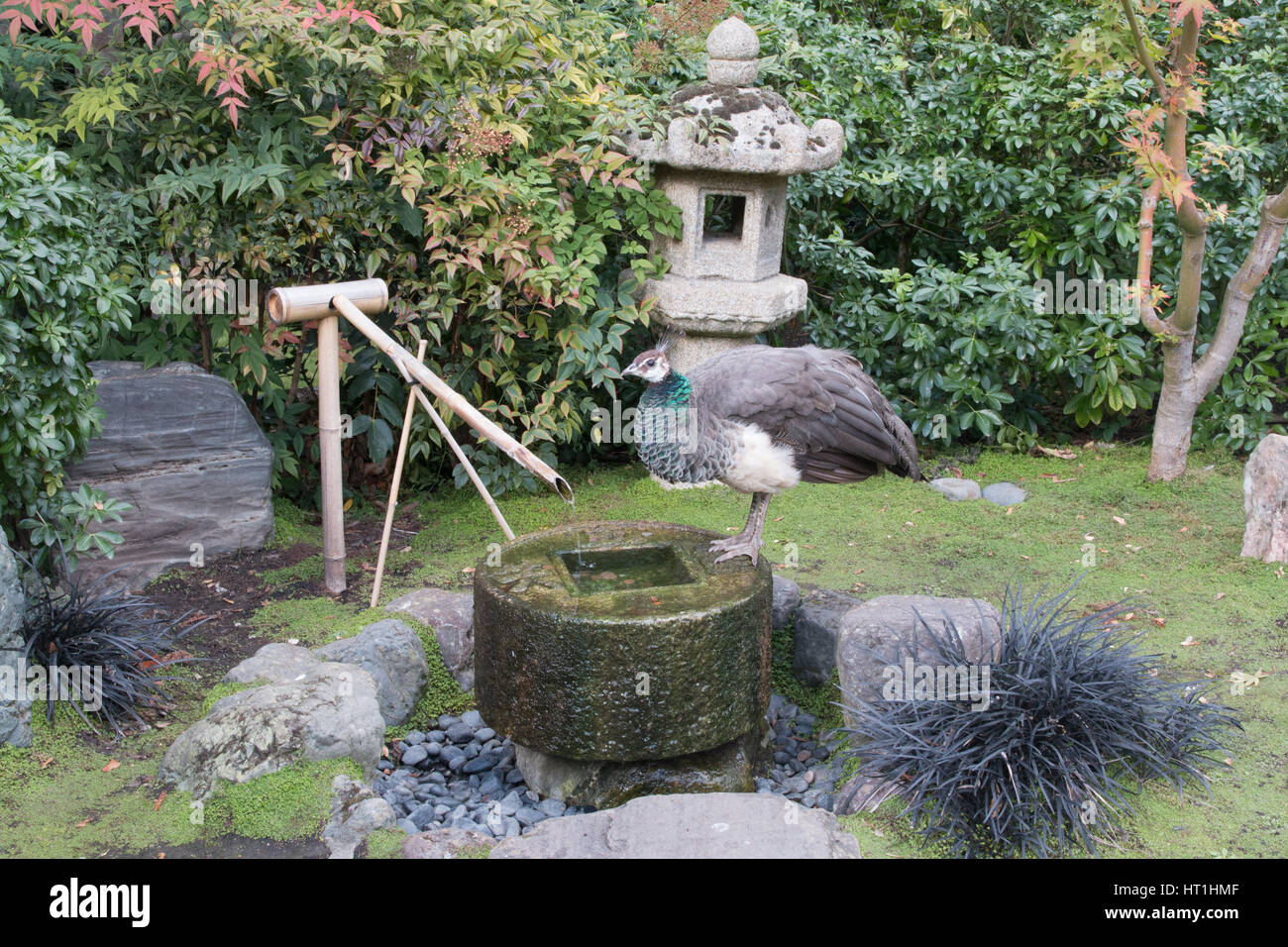 Peacock drinking water in the Japanese garden - Stock Image