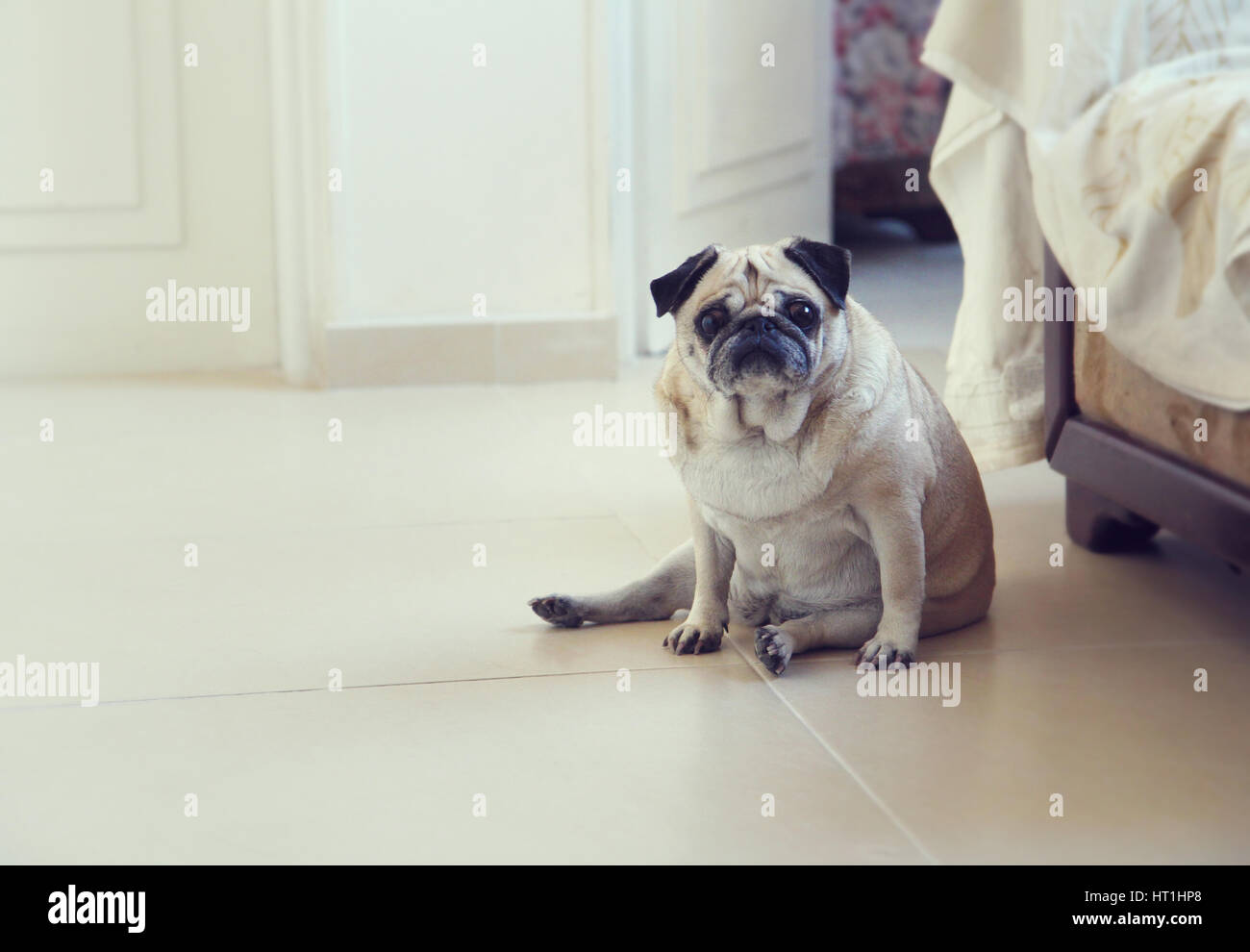 Pug dogStock Photo
