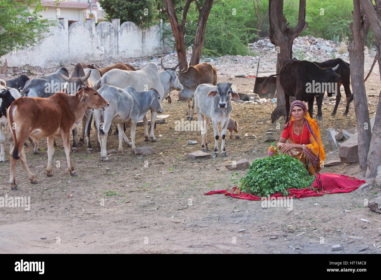 Woman selling grass stalks to passersby at Pushkar, India, for them to feed to her cows. The animals are revered - Stock Image